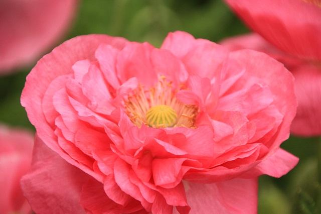 八重咲きポピー
