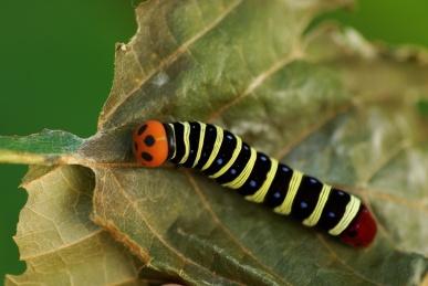 アオバセセリの幼虫