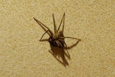 ゴキブリを食べるアシダカグモ
