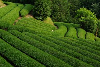 収穫を待つ茶畑