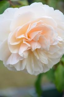 rose 126