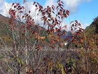葉が落ち始める木も・・