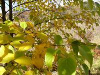 ミネバリの黄葉