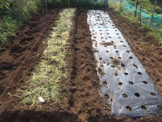 高菜の播種