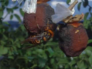 スズメバチの襲来