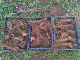 ヤマイモの収穫