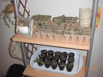 多肉植物挿し木