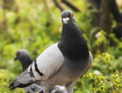 鳩って結構恐い顔をしている