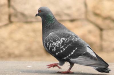 そっぽを向いた鳩