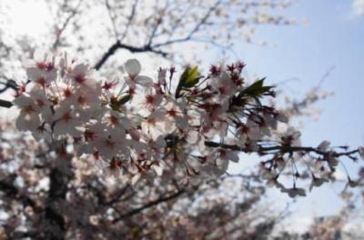 桜18(デイライトシンクロ)