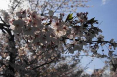 桜20(逆光)