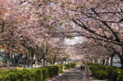 桜16(桜トンネル)