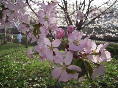 哲学の道桜