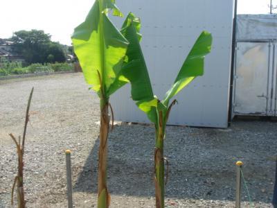 芭蕉の木1