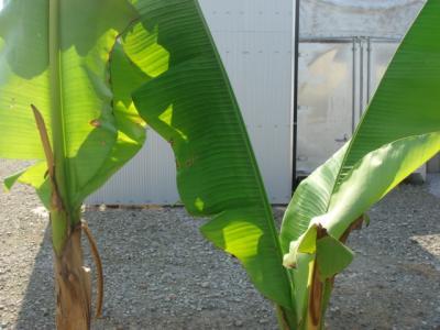 芭蕉の木2