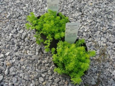 宿根植物2