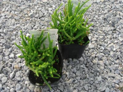 宿根植物3