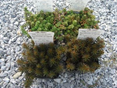 宿根植物4