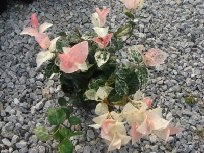 宿根植物6
