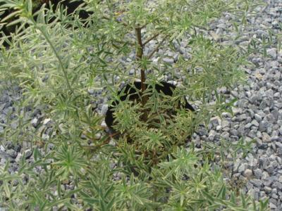 宿根植物7