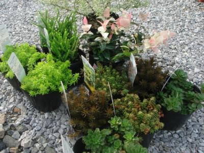 宿根植物購入