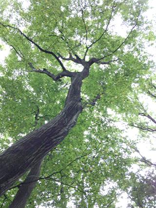 アカシヤの木を見上げる