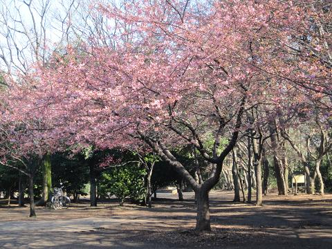 早咲き桜120325