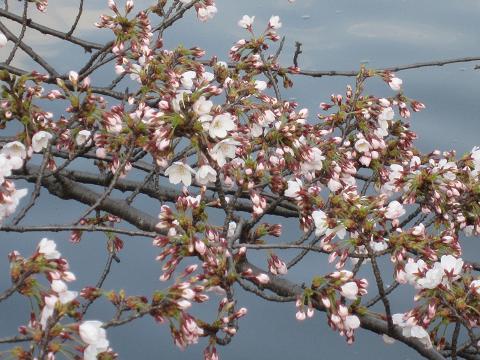 かなり咲いている枝