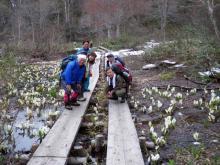 テンマ沢先の水芭蕉群生地