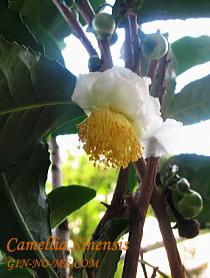 銀の芽紅茶店 お茶の花