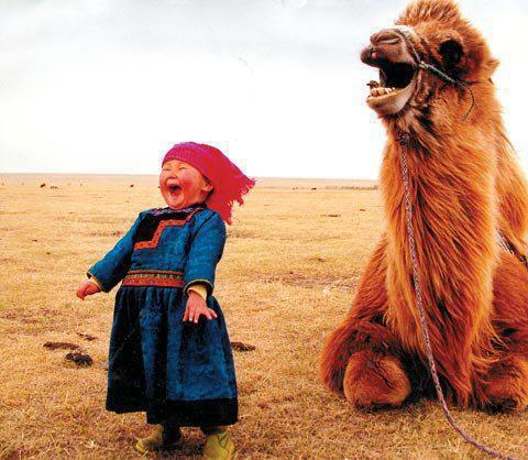 モンゴルの駱駝