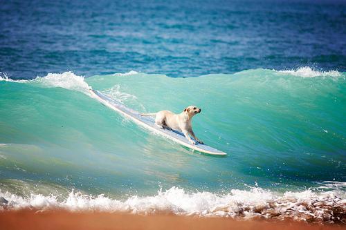 dogsurfing2.jpg