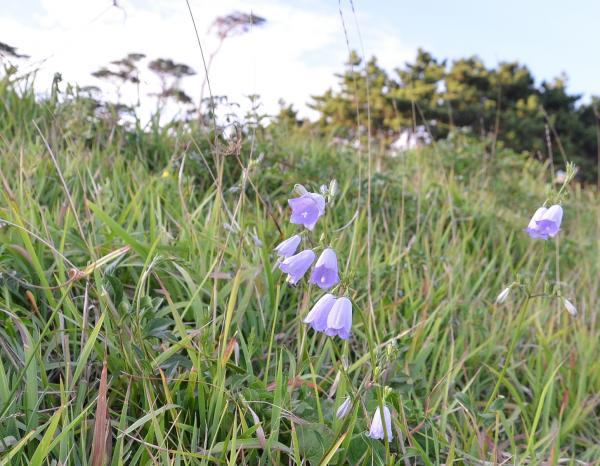ツリガネニンジンの島嶼変異型 花柱(めしべ)が短く花冠(花筒)から突き出ない