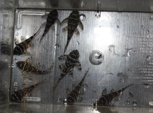 キングロイヤルペコルティア ワイルドF1 東海 岐阜 熱帯魚 水草 観葉植物販売 Grow aquarium