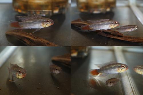 アピストグラマ ロートカイル サンフェリッペ レッドテール ワイルド東海 岐阜 熱帯魚 水草 観葉植物販売 Grow aquarium