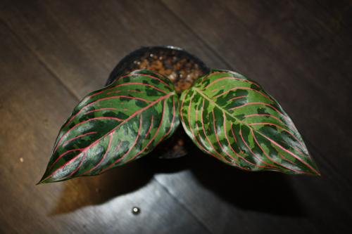 アグラオネマ ハイブリッド タイガー×バイカラー 東海 岐阜 熱帯魚 水草 観葉植物販売 Grow aquarium