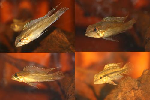 アピストグラマ ディプロタエニア ワイルド 東海 岐阜 熱帯魚 水草 観葉植物販売 Grow aquarium