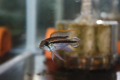 アピストグラマ アガシジー テフェ ワイルド 東海 岐阜 熱帯魚 水草 観葉植物販売 Grow aquarium