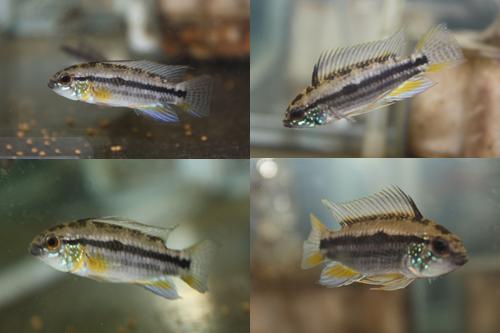 アピストグラマ ビタエニアータ ツクイ ワイルド 東海 岐阜 熱帯魚 水草 観葉植物販売 Grow aquarium