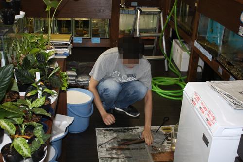 ありがとうございます。東海 岐阜 熱帯魚 水草 観葉植物販売 Grow aquarium