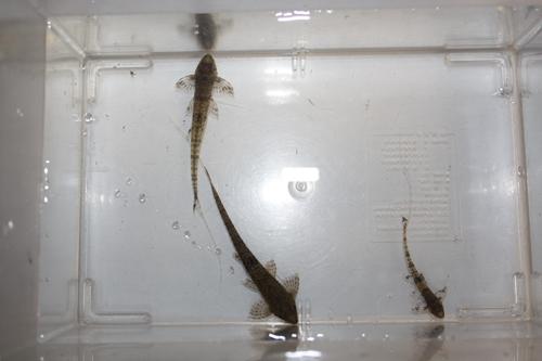ツチノコロリカリアsp. 東海 岐阜 熱帯魚 水草 観葉植物販売 Grow aquarium