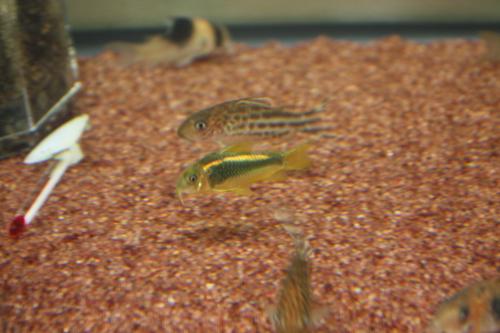 コリドラス ゴールドライン アエネウス ワイルド 東海 岐阜 熱帯魚 水草 観葉植物販売 Grow aquarium