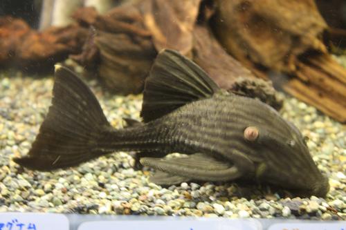 ロイヤルプレコ 東海 岐阜 熱帯魚 水草 観葉植物販売 Grow aquarium