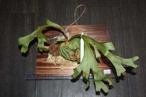 ビカクシダ リドレイ Platycerium ridleyi 東海 岐阜 熱帯魚 水草 観葉植物販売 Grow aquarium