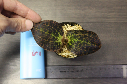 ドッシニア マルモラータ② Dossinia marmorate 東海 岐阜 熱帯魚 水草 観葉植物販売 Grow aquarium