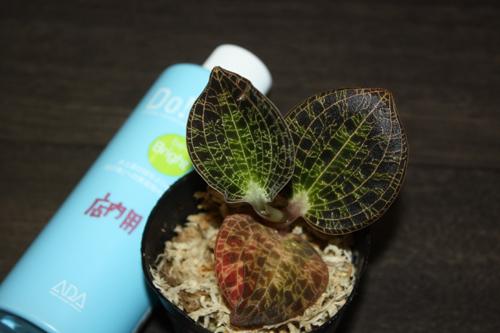 マコデス cf. ローウィー① Macodes cf. lowii 東海 岐阜 熱帯魚 水草 観葉植物販売 Grow aquarium