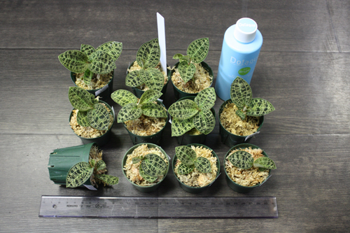 マコデス ペトラ Macodes petra 東海 岐阜 熱帯魚 水草 観葉植物販売 Grow aquarium