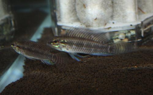 アピストグラマ スペードテールペルテンシス リオウルバキ 東海 岐阜 熱帯魚 水草 観葉植物販売 Grow aquarium