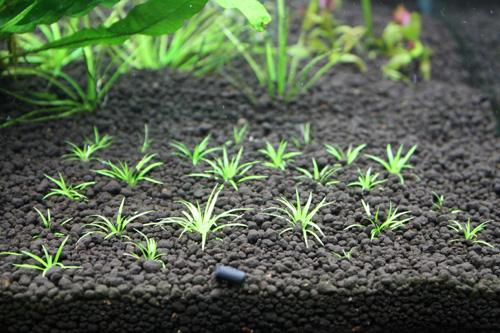 ホシクサsp. 東海 岐阜 熱帯魚 水草 観葉植物販売 Grow aquarium