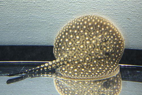 スモールスポット♂15cm+- 東海 岐阜 熱帯魚 水草 観葉植物販売 Grow aquarium